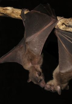 Oh come on people, you have to be able to see the cuteness in these li… Bat love. Oh come on people, you have to be able to see the cuteness in these little critters! Beautiful Creatures, Animals Beautiful, All About Bats, Animals And Pets, Cute Animals, Bat Flying, Baby Bats, Fruit Bat, Cute Bat