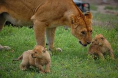 Lioness with cubs in Ndutu - Serengeti South
