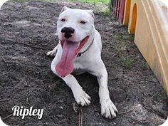 Fort Myers, FL - Pit Bull Terrier/American Staffordshire Terrier Mix. Meet RIPLEY, a dog for adoption. http://www.adoptapet.com/pet/18247749-fort-myers-florida-pit-bull-terrier-mix