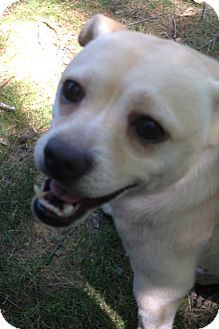MIDDLE ISLAND, NY - Chihuahua Mix. Meet Peapod, a dog for adoption. http://www.adoptapet.com/pet/13170981-middle-island-new-york-chihuahua-mix