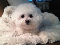 Daphne on her favorite blanket. Too cute. Looks just  like my baby , Sasha !