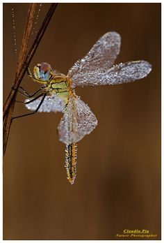 Sympetrum fonscolombii female by Claudio Pia on ~ Dragon fly covered in dew, looks like a fairy! All Nature, Amazing Nature, Science Nature, Beautiful Creatures, Animals Beautiful, Foto Macro, Bugs And Insects, All Gods Creatures, Bokeh