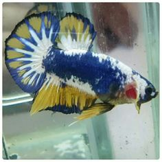 A list of all the types of Betta fish and the unique characteristics of each fish type! Pretty Fish, Beautiful Fish, Animals Beautiful, Betta Fish Types, Betta Fish Care, Colorful Fish, Tropical Fish, Freshwater Aquarium, Aquarium Fish