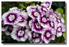 Sweet William Flower! Used in Kate Middleton's Bouquet.Grandma had many of these in her garden.