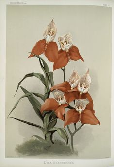 Orchid, Disa grandiflora (by Frederick Sander, 1847-1920), botanical illustration.