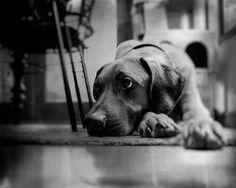 Keb watching #rhodesian #rhodesianridgebacks #dogsofinsta #ridgebacklove #rhodesianridgebacksofinstagram #lionhunter #feature_my_rhodesianridgeback #dogsofig #doglover #dog #rhodesianridgeback #petstagram #lovedogs #puppy #ilovemydog #dogoftheday #puppylove #dogs #dogsofinstagram #ridgebacksofinstagram #liondog #bokeh #bokehful #bokehlicious #bokehphotography #bokeh_and_blur #bokehphoto #blackandwhite #bnw_rose @bnw_planet @bnwsouls #bnw_zone
