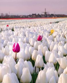 White Tulips, Pink Tulips, White Flowers, Beautiful Flowers, Beautiful Things, Padre Celestial, Tulip Fields, Spring Bulbs, Wonderful Picture