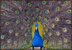 The pride of the peacock is the glory of God.