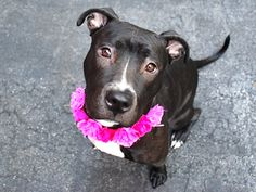 """OMELETTE- A1046223 SUPER URGENT!!! OMELETTE IS ON THE """"2 BE DESTROYED"""" FOR TONIGHT 8/6/15, BUT THERE MAY STILL BE TIME TO SAVE HER! PLEASE DONT ALLOW HER TO BE PUT TO DEATH IN SHELTER, SHE DESERVES TO BE LOVED, FIND A HOME SO BADLY, SHE IS JUST A BABY! SHE IS RESCUE ONLY, IF U WANT HER, U NEED TO CONTACT A RESCUE TO PULL HER FOR U ASAP! THERE IS """"NO"""" TIME TO WASTE HER LIFE IS IN DANGER N TIME IS PRECIOUS! PLEASE OPEN UR HEART N HOME TO THIS SPECIAL BABY:) CHOOSE LIFE, NOT DEATH 4 OMELETTE!!"""