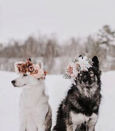 Beautiful Flower Crowns For The Most Majestic Animals – The first flower crown college professor Yarely made was for her dog, Australian shepherd Freya. Pretty Animals, Cute Funny Animals, Cute Baby Animals, Animals And Pets, Funny Dogs, Cute Animal Pictures, Dog Pictures, Dog Photos, Beautiful Dogs