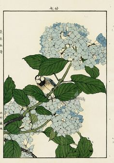 Imao Keinen : Big Leaf Hydrangea, Varied Tit at Davidson Galleries Botanical Drawings, Botanical Illustration, Botanical Prints, Illustration Art, Japanese Prints, Japanese Art, Personajes Studio Ghibli, Davidson Galleries, Poster Prints