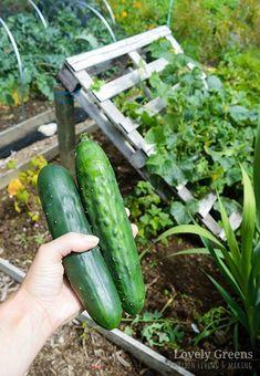 DIY Pallet Cucumber