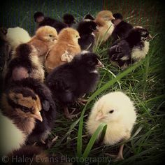 Hobbits, Horses, and Handcrafts: Chicks Have Belly Buttons, And Other Random Chick Facts