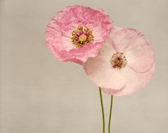 "Poppy Art, Fine Art Flower Photography Print ""Pink Poppies No. 7"""