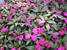 New Guinea Impatiens Full Sun Annuals, Plants, Plant, Planting, Planets