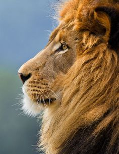 lion face - Google Search
