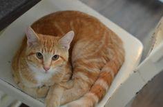 Lost Cat! Weazer is missing from Minneapolis- orange white cat.