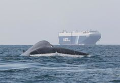 New forecast tool helps ships avoid blue whale hotspots Satellite tracking informs maps of blue whale density off West Coast