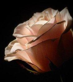 Rose - Flowers Wallpaper ID 1588148 - Desktop Nexus Nature My Flower, Flower Power, Beautiful Flowers, Blush Roses, Red Roses, Ronsard Rose, Black Peach, Single Rose, Peach Colors
