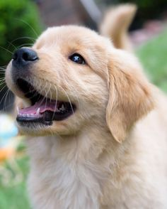 ~ ADORABLE GOLDEN PUP ~