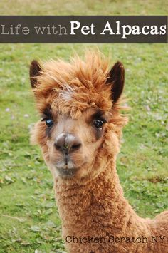 Learn the role our pet alpacas, Fred & George play on the farm Can you even picture owning an Alpaca as a pet! Backyard Barn, Backyard Farming, Pet Care Tips, Dog Care, Pet Tips, Zoo Animals, Cute Animals, Easy Animals, Barnyard Animals