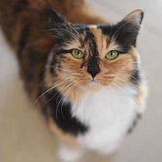 2/13/17 * CoCo is available for adoption through Best Friends Animal Society.  Coco will often approach you for attention, but she only enjoys being petted for a short time. She will make it clear when she&#39s had enough....