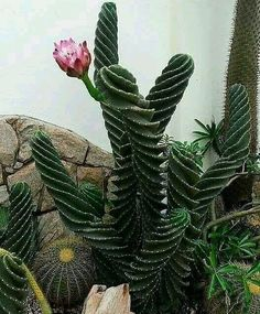"Flower Lover on Instagram: ""سرئوس پیچ (فوربسی) Cereus forbesii: یکی از زیباترین گونه های کاکتوس 😍🌵❤ . . Repost from: @cactus.gardens . . . #cactiflower #plantlover…"" Unusual Plants, Rare Plants, Exotic Plants, Cool Plants, Exotic Flowers, Succulent Gardening, Cacti And Succulents, Planting Succulents, Planting Flowers"
