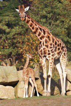 giraffe celebrating images - Google Search