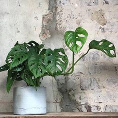 ODD STANDARD Sylinder 14 Plant Leaves, Plants, Flora, Plant, Planting