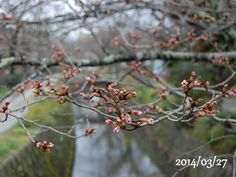 京都 哲学の道 桜 2014/03/27