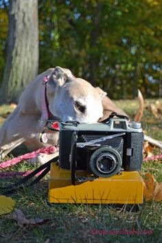 Bunny the photographer greyhound gets ready for another busy day