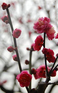 梅 (Ume, Japanese flowering apricot, Prunus mume) - Hardy early bloomer ... can bloom in January or February in U.S. climate zones 7 & 8.