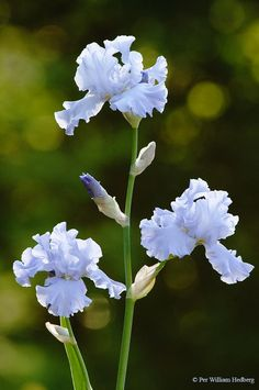 Photo of Tall Bearded Iris (Iris 'Oregon Skies') uploaded by William