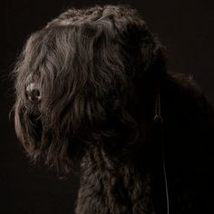 Varias the Black Russian Terrier   Click to take the Westminster Dog Show Look-Alike Quiz. (Photo: Fred R. Conrad for The New York Times)
