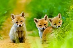 "djferreira224: "" Fox cubs """