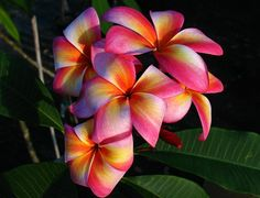 Heirloom 5 Seeds Plumeria mixed Colors Flower by seedsshop on Etsy