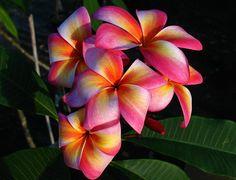 Heirloom 5 Seeds Plumeria mixed Colors Flower par seedsshop sur Etsy, $4.89