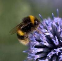 Honeybees vs bumblebees | Bumblebee Conservation Trust