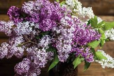 Lilac Fragrant Trio Collection 9cm Potted Plants - 3 or 6! - Deal 14874465#9cm #collection #deal #fragrant #lilac #plants #potted #trio Cottage Garden Borders, Cottage Garden Plants, Garden Trees, Prune Lilac Bush, Potted Strawberry Plants, Strawberry Planting, Dwarf Lilac, Hedging Plants, Potted Plants