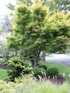 Coral Bark Japanese Maple with evergreens Backyard Stream, Backyard Plants, Landscaping With Rocks, Front Yard Landscaping, Golden Garden, Garden Maintenance, Japanese Maple, Autumn Garden, Native Plants