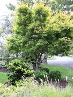 Coral Bark Japanese Maple with evergreens Japanese Garden, Golden Garden, Backyard Stream, Autumn Garden, Landscape Design, Trees To Plant, Garden Maintenance, Pond Landscaping, Garden Bloggers