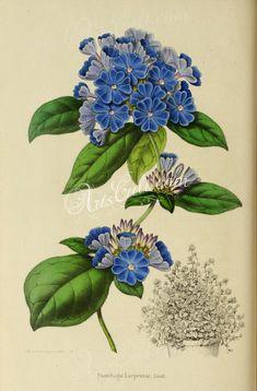 flowers-17853  plumbago larpentae Ceratostigma