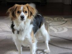 Meet Maizie, an adoptable Cavalier King Charles Spaniel looking for a forever home. If you're looking for a new pet to adopt or want information on how to get involved with adoptable pets, Petfinder.com is a great resource.