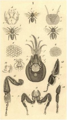 anatomical drawings of bees