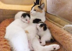 Pretty calico mother and kittens