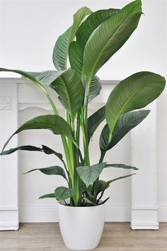 Peace lily (leaf flag) sensation-Friedenslilie (Blattfahne) Sensation With just one hand, you can transform your living and office space into a green oasis. This stately specimen of the Spathiphyllum Sensation p … - Interior Plants, Interior And Exterior, Plantas Indoor, Decoration Plante, House Plants Decor, Deco Floral, Outdoor Plants, Amazing Gardens, Houseplants