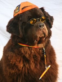 the newfoundland was bred as a working dog for fisherman, as well as a rescuer for out at water.  it also excels in academics.