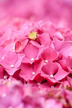 Pink Hydrangeas ❤