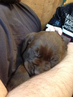Coco having cuddles with daddy when she was 6 weeks old Cute Puppies, Cute Dogs, Dogs And Puppies, Chocolate Lab Puppies, Chocolate Labs, I Love Dogs, Puppy Love, Christmas Puppy, Labrador Retrievers