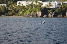 Baby humpback whale learning to breach in Samana Bay, Dominican Republic.